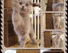 出售花纹清晰对称美短猫咪,毛色靓丽的美国短毛猫