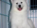 出售萨摩耶 浑身洁白骨架大的微笑天使健康