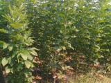 大量出售绿化树苗苗速生白蜡 白蜡树苗价格 山东白蜡种植基地
