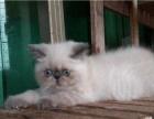 自家繁育--蓝重点色异国短毛(加菲)猫
