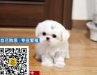 哪里有卖马尔济斯犬马尔济斯多少钱马尔济斯幼犬