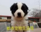 《自家养高品质边境牧羊犬》咖色黑白-都市宠物生活馆