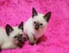 出售纯种蓝眼睛暹罗猫咪 生活自理健康活泼可爱萌萌