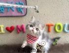 猫舍低价出售加菲猫 包纯种保健康疫苗已做