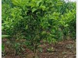 耙耙柑桔果树苗,云南柑橘嫁接树苗批发,四川哪里有春见柑桔苗