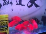 超红血鹦鹉超低价出售