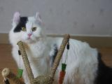 广州市区家庭繁育折耳猫、卷耳猫、英国美国短毛猫