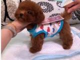 正规狗场低价出售茶杯玩具血系的泰迪犬 签协议