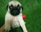 出售家养巴哥幼犬 公母都有品相好看 欢迎上门选购