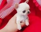 上海本地犬舍繁殖纯种宠物狗,吉娃娃,质保三个月