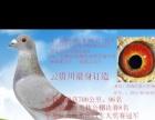 出售信鸽种鸽 ,进奖概率高,送公棚幼鸽出售免运费