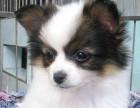 福州哪有蝴蝶犬卖 福州蝴蝶犬价格 福州蝴蝶犬多少钱