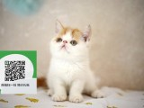 昆明哪里有加菲猫出售 昆明加菲猫价格 加菲猫多少钱