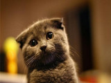 較大CFA認證貓舍自家繁殖純種折耳貓 可上門 看父母