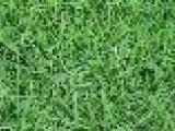 百慕大、高羊茅、马尼拉、黑麦草、四季青、果岭草、中华结缕草