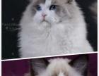 宠物级海豹双色布偶猫帅哥-koc+大丽丽血统