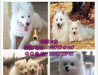 出售纯种银狐犬 健康有保障 售后签协议 高品质