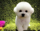 哪里有卖比熊比熊多少钱比熊图片比熊幼犬