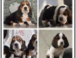 本地巴吉度幼犬繁殖基地 多只精品宝宝可选