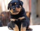 最长情的相伴 您的爱宠罗威纳犬 给它一个温暖的家吧!