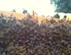 纯天然无公害绿色农家蜂蜜