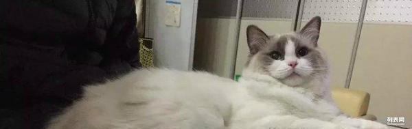 赛级布偶猫幼猫预定_天津宠物猫_天津列表网