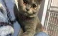 安阳专业英短繁育猫舍,英短幼猫满月。欢迎新家长预定