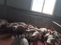 养殖养鸡养鸭养鹅养猪 长期批发出售鸡苗鸭苗猪苗