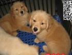 惠州金毛犬哪里有卖纯种金毛寻回犬 金毛价格