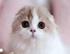 本地家养折耳英短蓝猫蓝白 折耳银渐层 折耳美短