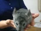 标灰龙猫一对,7月29日生的,能吃能睡