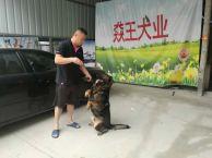 马犬出售 广州正规犬舍繁殖