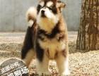 哪里有狗狗出售 哪里买宠物狗 纯种阿拉斯加犬价格