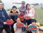 郴州正宗奶油草莓园 2017郴州摘草莓的地方!