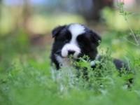 家养边境牧羊犬黑白陨石公母均有预防驱虫已做
