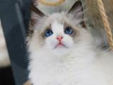 安徽合肥布偶幼猫优惠出售