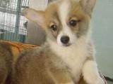 纯种柯基犬 两色三色柯基幼犬签质保包健康