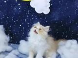 美国CFA认证猫舍 加菲猫 优惠送不停