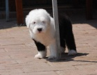 武汉纯种古代牧羊犬价格 武汉哪里能买到纯种古代牧羊犬