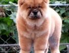 重庆肉嘴松狮怎么卖 重庆出售家养纯种松狮幼犬 重庆有卖松狮