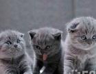 出售精品加菲猫,蓝猫,折耳猫,暹罗猫,同城防骗订金