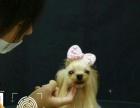 山东青岛宠物美容培训,宠物美容,宠物美容师