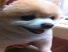 哈多利球体博美 茶杯俊介犬 带证书签合同 免费送货