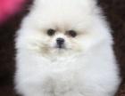 福州本地犬舍出售精品博美犬包纯包健康签协议三年包换