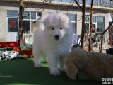 微笑天使萨摩耶,喜欢逛街的犬,亲和力强,家养伴侣
