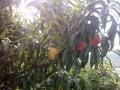 盖州市花果山,桃园苹果园,绿色采摘园开园