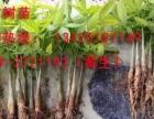 湛江市发财树苗 育发财树头 种植养殖 发财树盆栽