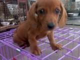 欢迎到狗场实地看狗 纯种腊肠幼犬出售 保证纯种健康