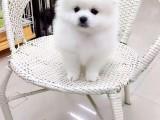 美系俊介犬 哈多利球型博美犬选粉雕玉琢包健康包活