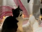 出售加菲猫多只挑选活泼健康粘人